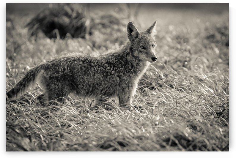 Coyote  by JADUPONT PHOTO