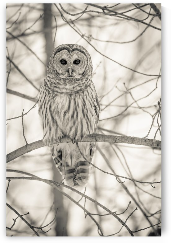 Spotted Owl - 1  by JADUPONT PHOTO