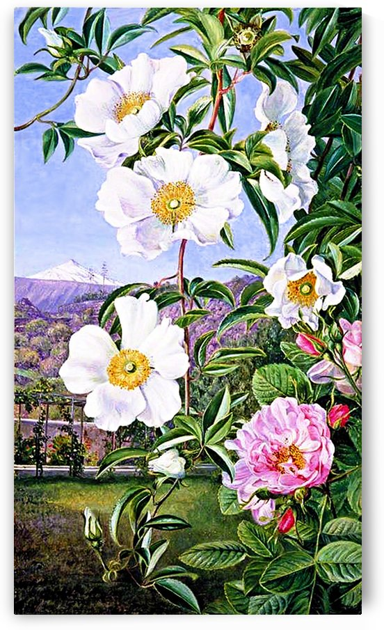 White And Pink Cherokee Rose by One Simple Gallery