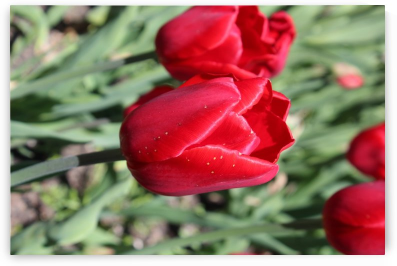 Tulips Red by Lalitha Murali