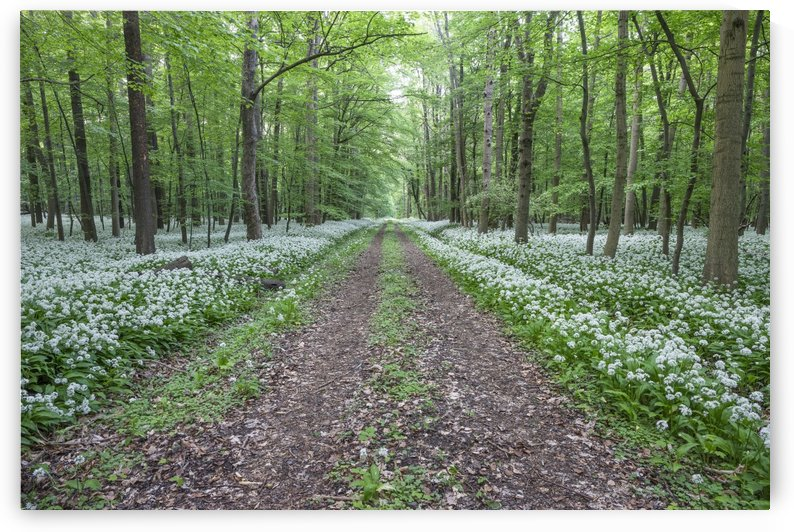 In The Middle Of Wild Garlic by Patrice von Collani