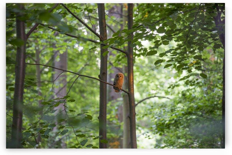 Little Owl by Patrice von Collani
