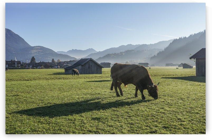Cows in autumn by Patrice von Collani