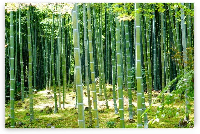 Bamboo Forest by Ben Conway