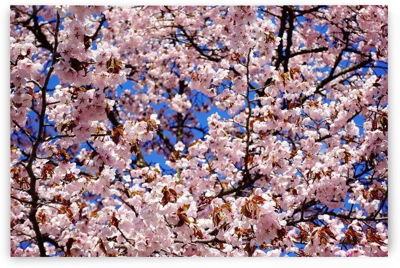 Cherry Blossom by Ben Conway