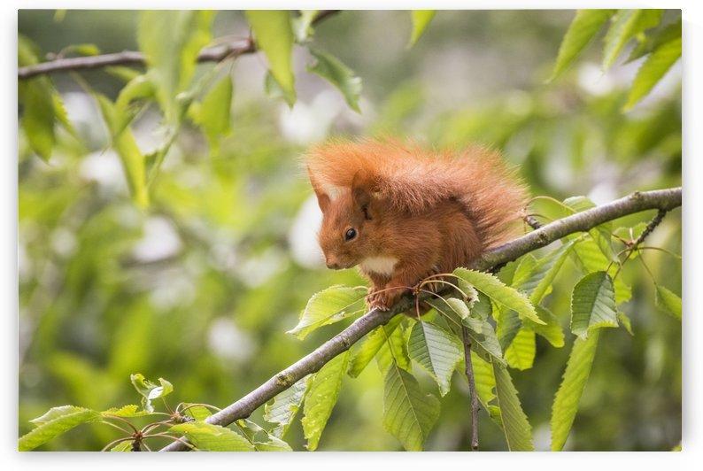 Portrait of a Squirrel by Patrice von Collani