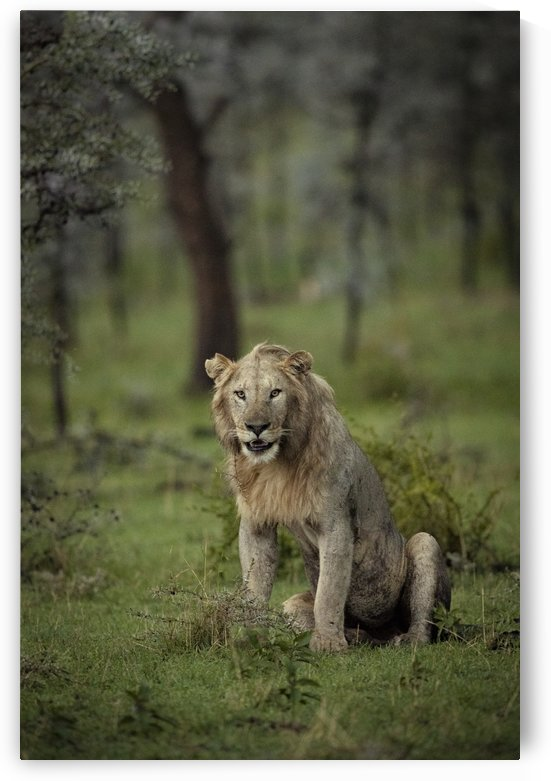Lion under Rain by www.jadupontphoto.com by JADUPONT PHOTO