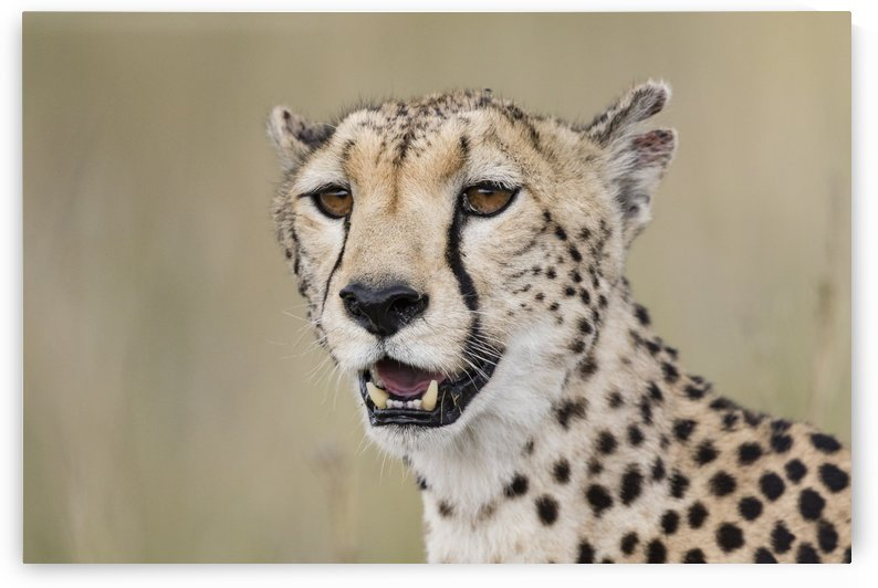 Cheetah Portrait by www.jadupontphoto.com by JADUPONT PHOTO