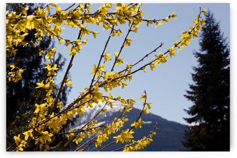 Yellow Bloom in Alps by Ann Romanenko