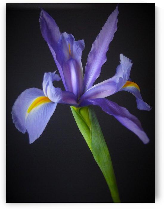 Single Iris by Linda Peglau