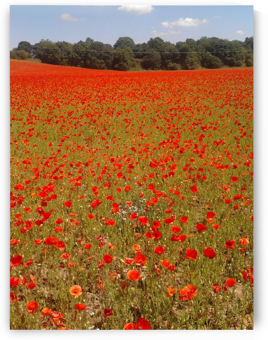 Fields of  Poppies by Sara Jennings