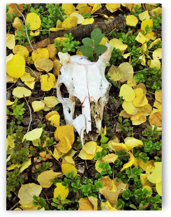 Animal Skull In Aspen Leaves by Linda Peglau