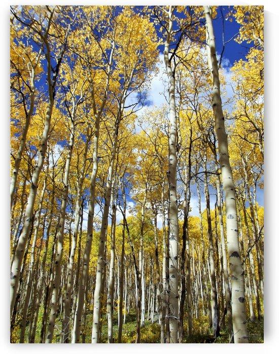 Aspen Forest Bluebird Sky by Linda Peglau