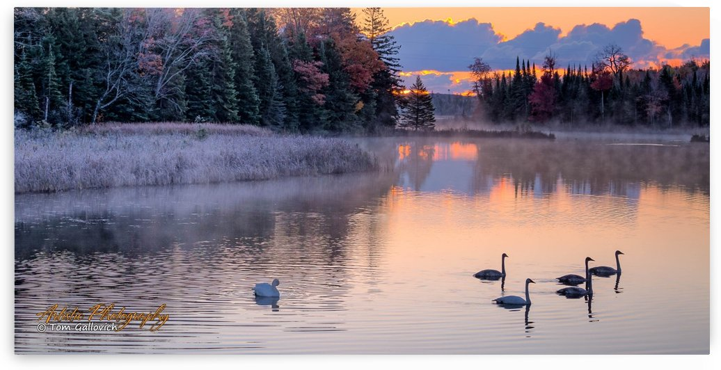 Trumpeter Swans - APC-365 by Artistic Photography