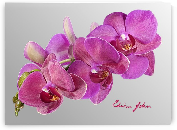 Moth Orchid Flower Spray Magenta by Edwin John