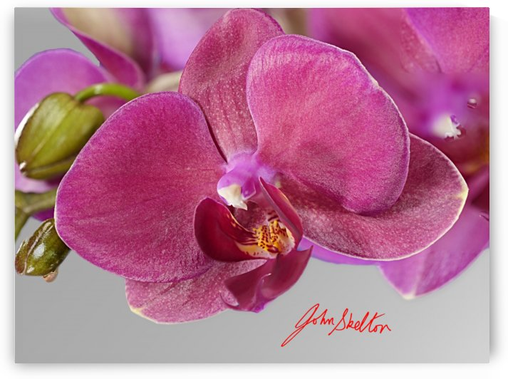 Moth Orchid Flower Single Flower Magenta by Edwin John