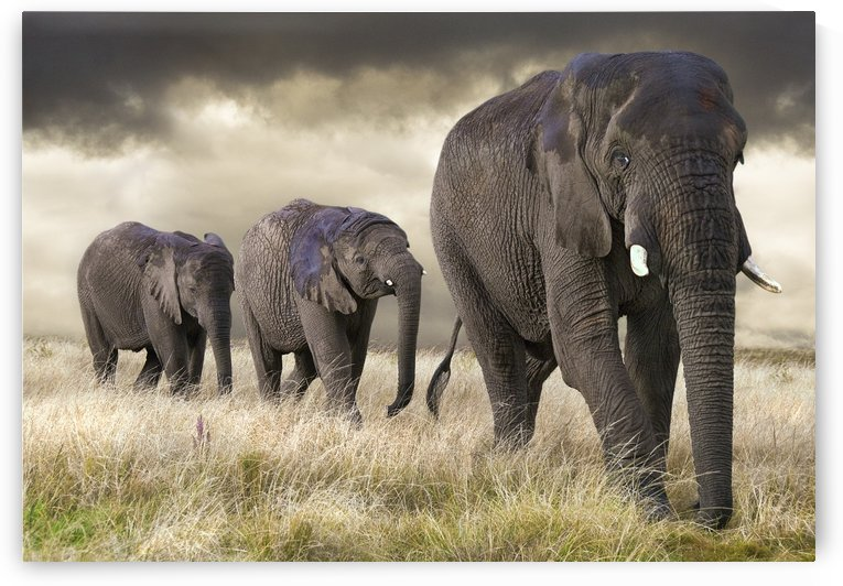 Elephant parade by Photure