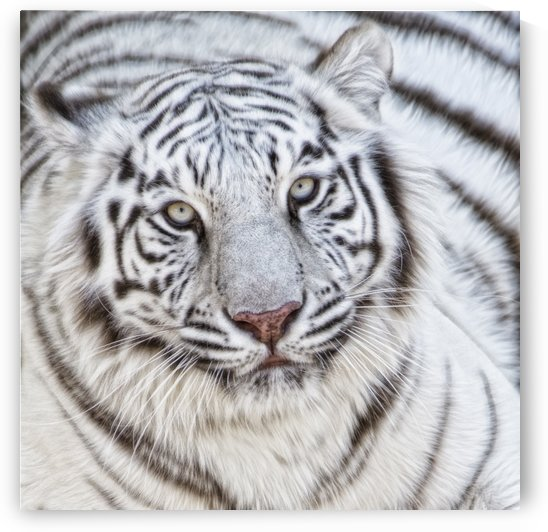 White tiger by Photure