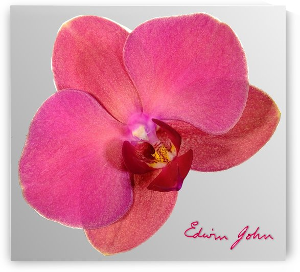 Single Moth Orchid Flower Magenta by Edwin John