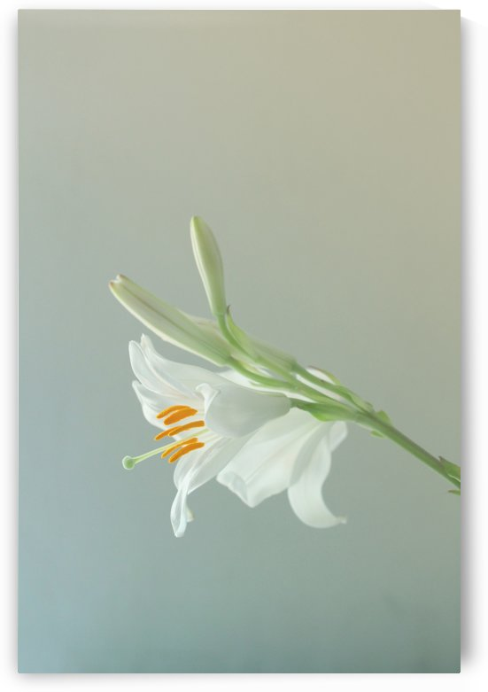 Madonna Lily by Andrea Pratnemer