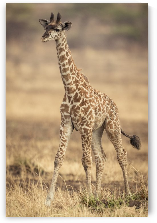 Little Girafe by JADUPONT PHOTO