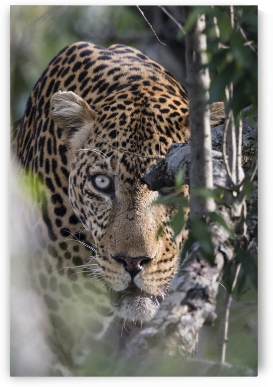 Eyes of the Leopard - color by JADUPONT PHOTO