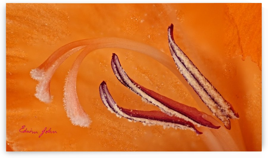 Orange Gladiola Ultra Close Up of Stamens by Edwin John