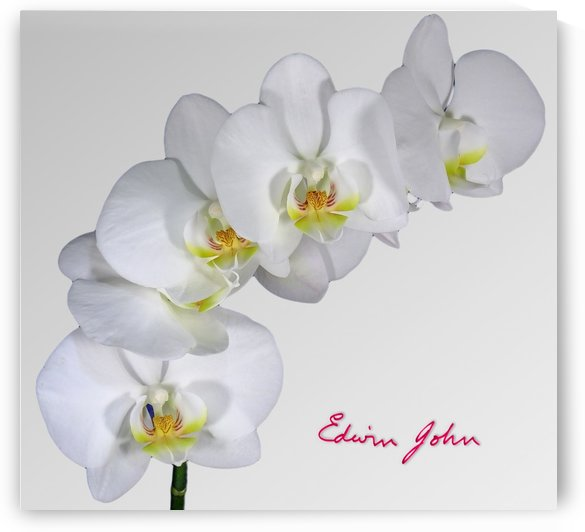 Moth Orchid White flowers spray by Edwin John