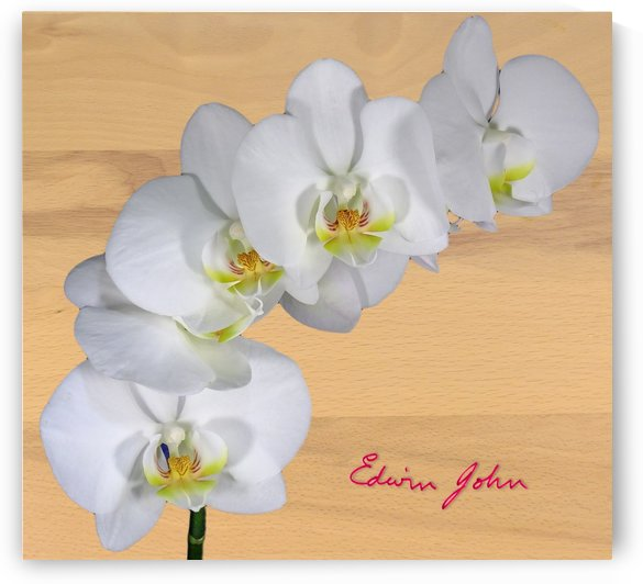 Moth Orchid White flowers spray light beech background by Edwin John
