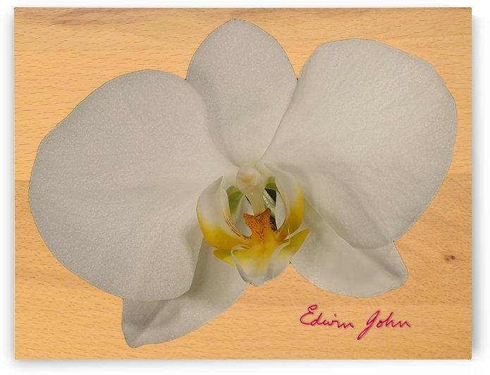 Moth Orchid Flower Single Flower White on Beech wood background by Edwin John