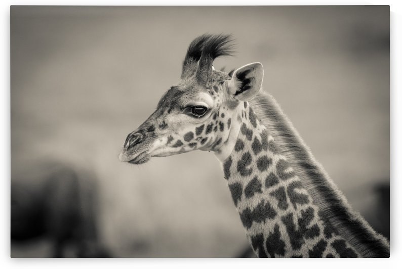 Girafe Calve by JADUPONT PHOTO