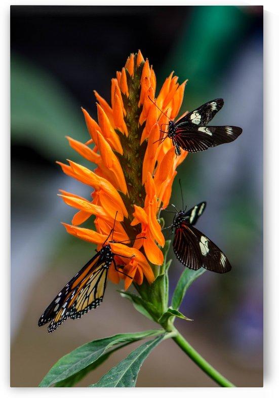 Butterflies by Wagner Spirigoni