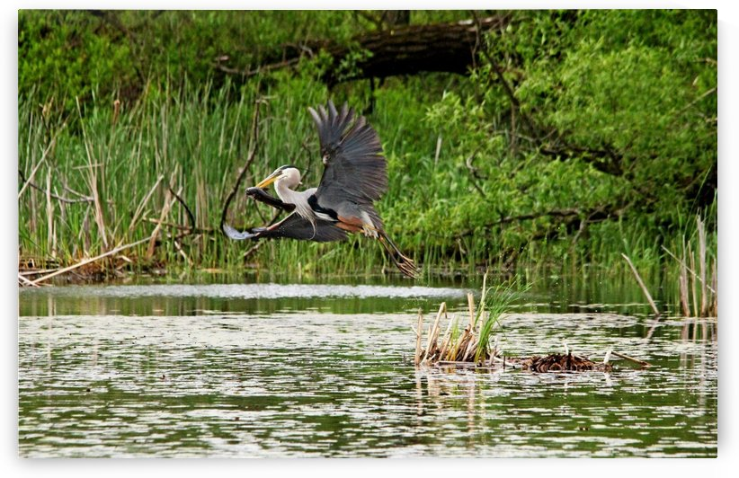 Great Blue Heron With Catfish by Deb Oppermann