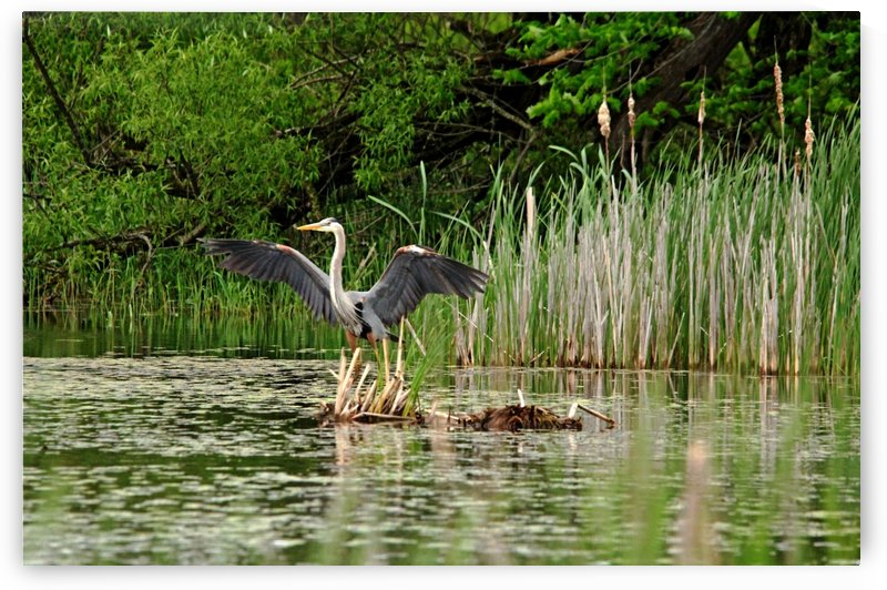 Great Blue Heron Landing by Deb Oppermann