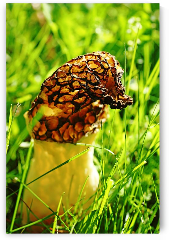 Yellow Morel by Deb Oppermann