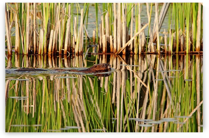 Muskrat And Cattails by Deb Oppermann