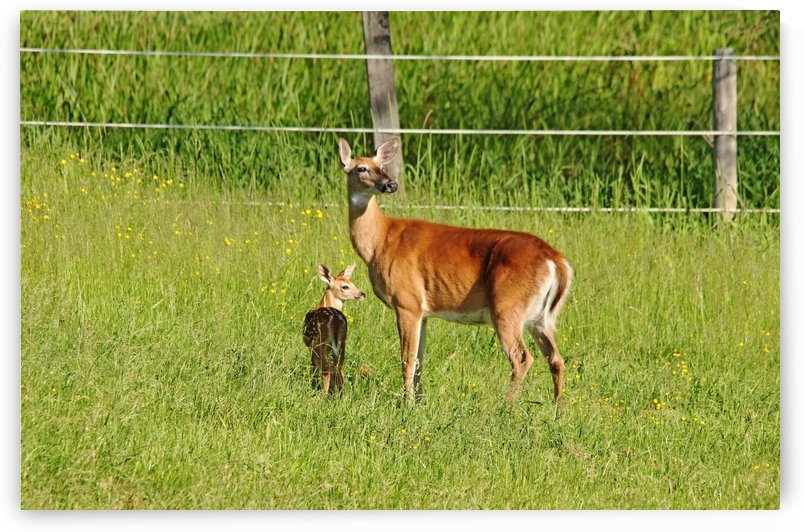 Whitetail Doe And Fawn by Deb Oppermann