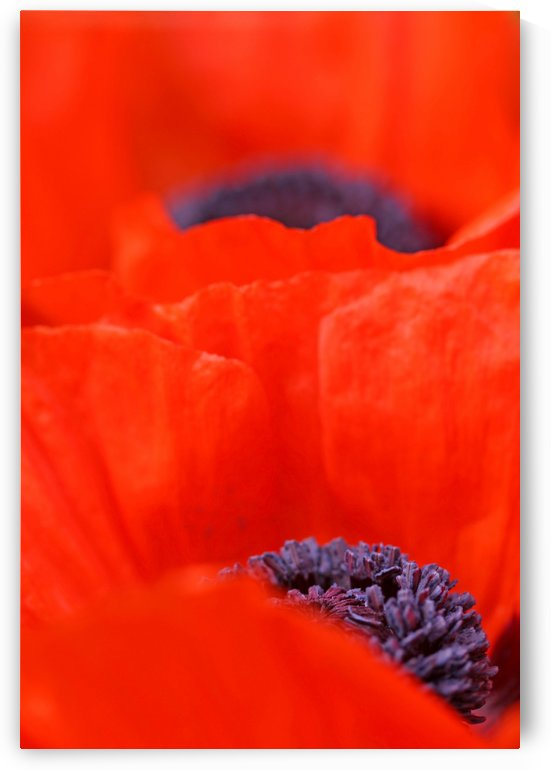 Poppy Heart I by Deb Oppermann
