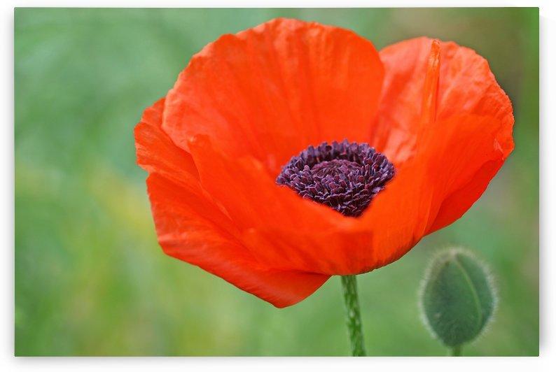 Poppy Red by Deb Oppermann