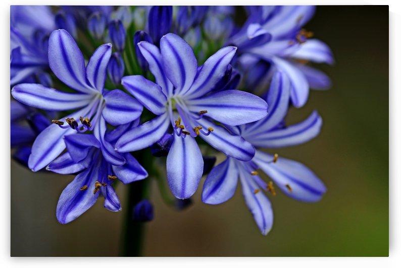 Agapanthus Blue by Deb Oppermann