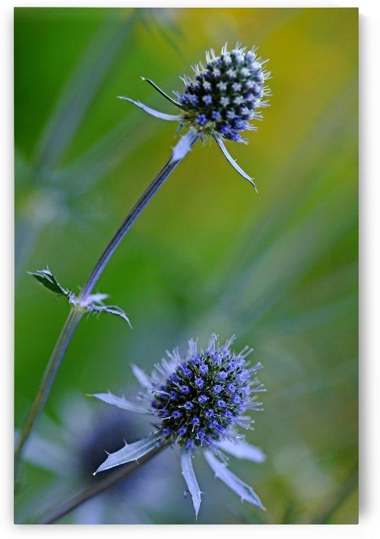 Steel Blue Sea Holly by Deb Oppermann