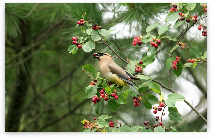 Cedar Waxwing Berry Picking by Deb Oppermann