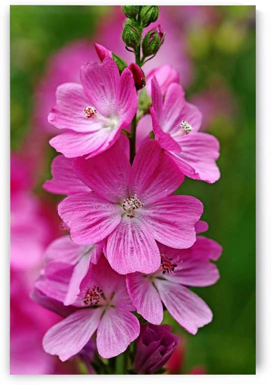 Checkerbloom by Deb Oppermann