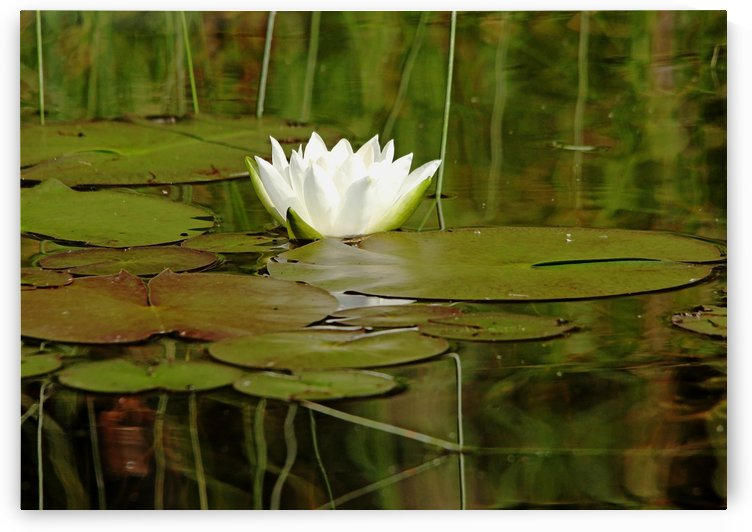 Nymphaea Alba by Deb Oppermann