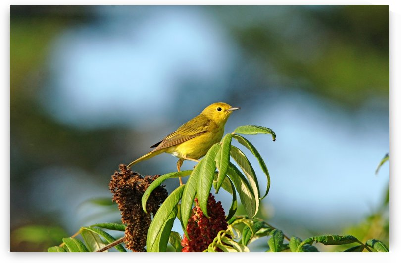 Yellow Warbler In Sumac by Deb Oppermann