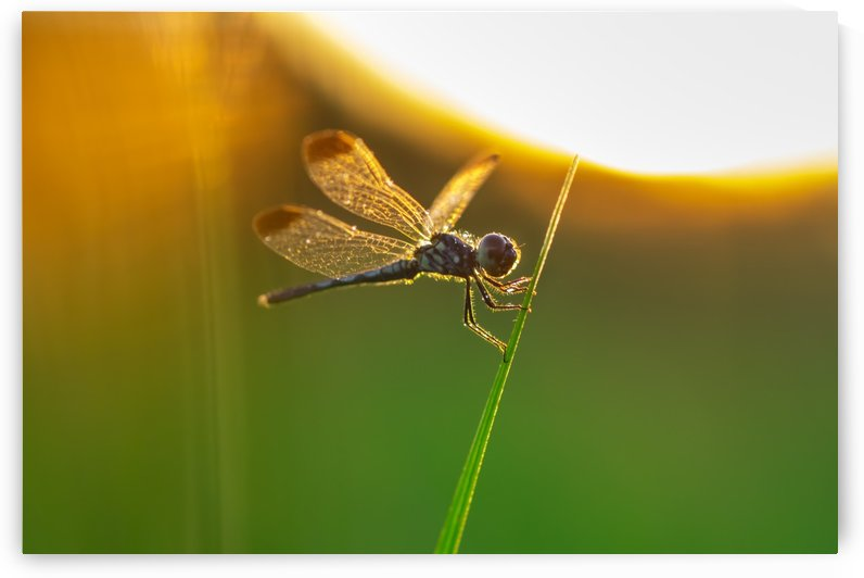 Dragonfly perching on grass twig by Krit of Studio OMG