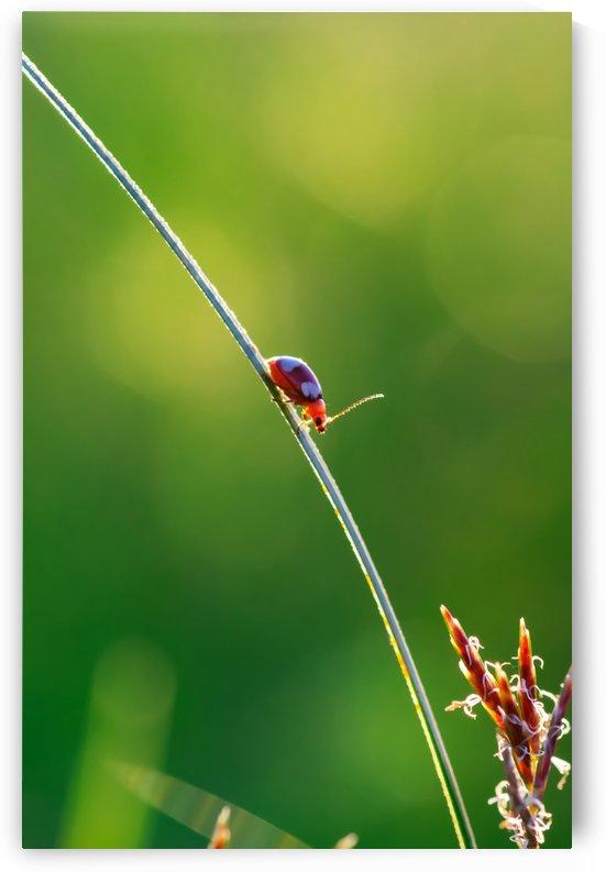 Ladybug perching on grass by Krit of Studio OMG