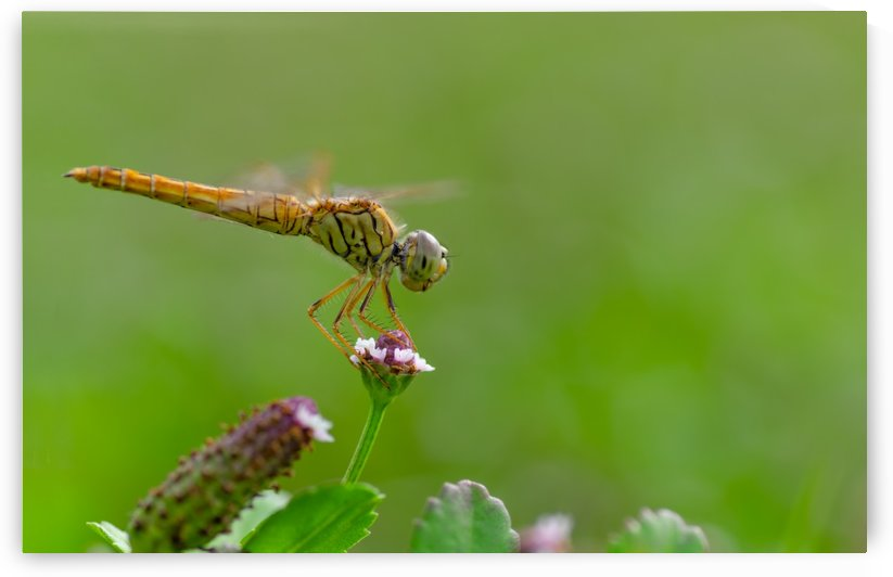 Yellow dragonfly by Krit of Studio OMG