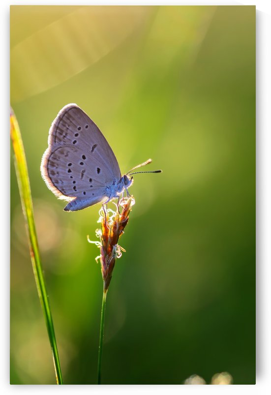 Gray butterfly perching on grass flower by Krit of Studio OMG