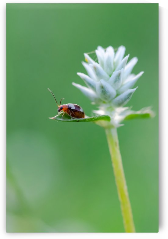 Red bug on green leaf by Krit of Studio OMG